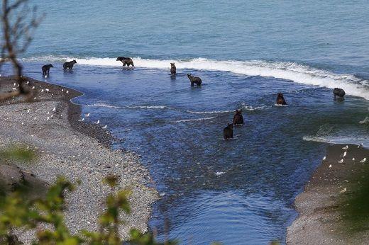 Медвежья рыбалка в заказнике Восточный