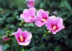 Цветок мугунхва, или гибискус