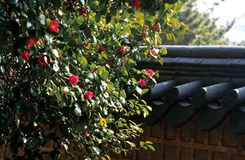 На острове Чочже яркие цветы тонбек цветут всю зиму (фото из еженедельника «Конгам»)