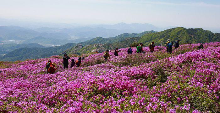 Туристы восходят на гору Хванмесан по тропе, в окружении королевских азалий, цветущих весной